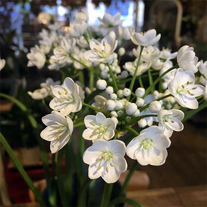 Freshly cut bunch of white flowers perfect for bereavement or funerals